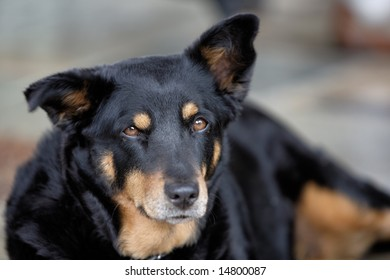 Alert Attentive Black Tan Dog One Stock Photo (Royalty Free ...