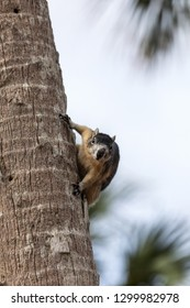 Alert big cypress fox squirrel Sciurus niger avicennia gathers nuts on a tree branch in summer in Naples, Florida