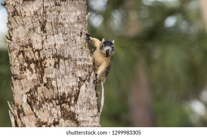 Alert big cypress fox squirrel Sciurus niger avicennia gathers nuts on a tree branch in summer in Naples, Florida