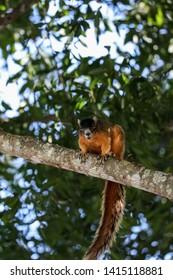 Alert big cypress fox squirrel Sciurus niger avicennia on a tree branch in summer in Naples, Florida