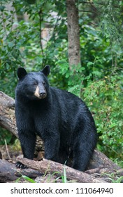 Alert black bear, stares off into the distance.  Summer in northern Minnesota.