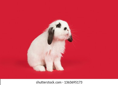 Alert black and white rabbit on a red background