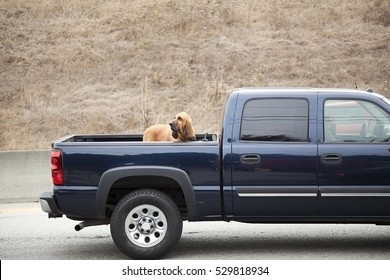 Alert bloodhound riding in pickup bed. Horizontal.