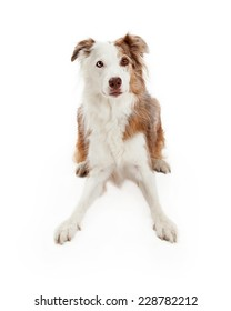 Alert Border Collie Dog laying in a playful position.