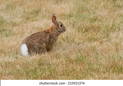 An alert cottontail rabbit pauses in the dried grass ready to run from danger.