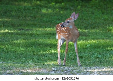 An alert fawn stands on green grass while looking to its right. Its white spots stand out in contrast to the yellowish-brown coat and coal black nose.