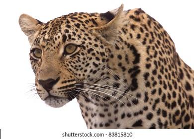 Alert female leopard