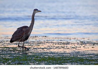 Alert Great Blue Heron hunting in the water along ocean shoreline, near sunset.