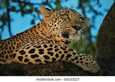 Alert Leopard in Tree