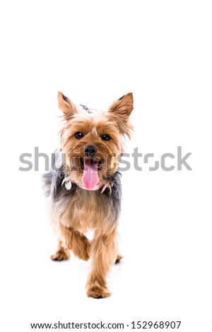Alert Little Yorkie Yorkshire Terrier Standing Stock Photo Edit Now