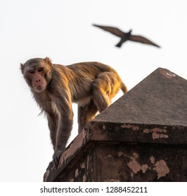 Alert looking macaque monkey with flying bird in background