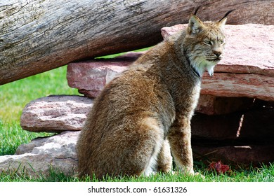 alert lynx on the lookout for prey