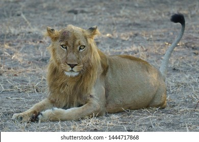 An alert male lion with tail raised, exhibiting plenty of scars from a recent territorial dispute with another lion.
