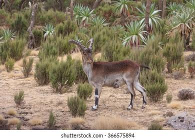 Alert male Walia Ibex in Simian mnountains, Ethiopia