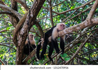 An alert male White-faced Capuchin monkey (Cebus imitator) or Panamanian White-headed Capuchin) looking down from a tree. Osa peninsula, Southern Costa Rica.