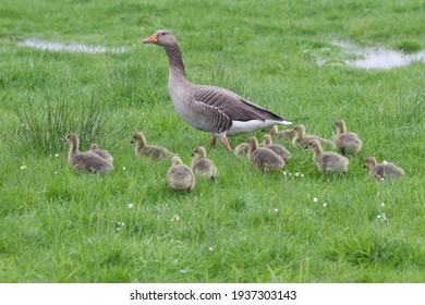 Alert Mother grey leg goose anser with thirteen lucky chicks walking around in the wet grassland with cardamine pratense flowers in the green grass