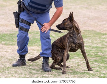 Alert police dog restrained by it's handler
