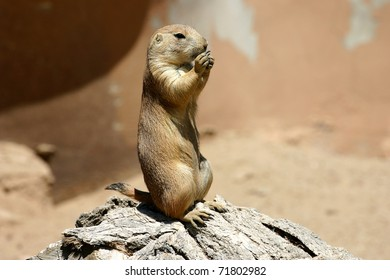 An alert prairie dog guards its burrow