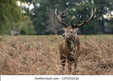 Alert red deer protecting its territory during the rutting season