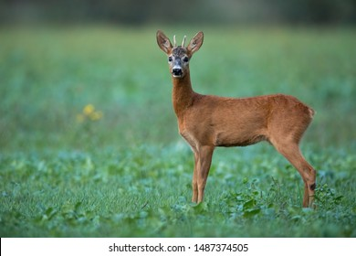 Alert roe deer, capreolus capreolus, buck listening carefully on a agricultural field at dusk in summer. Wild male mammal in nature.
