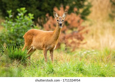 Alert roe deer, capreolus capreolus, doe chewing with open mouth on summer meadow with green grass. Cute female mammal with orange fur and large ears listening attentively and facing camera in nature