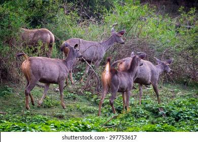 Alert sambar herd