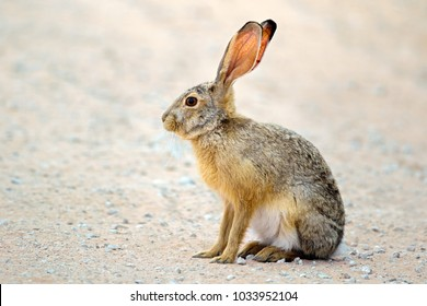 An alert scrub hare (Lepus saxatilis) sitting upright, South Africa