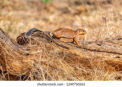An alert Unstriped Ground Squirrel moving cautiously along a log, with its bushy tail stretched behind it. Xerus rutilus.  Samburu National Reserve, Kenya, East Africa.