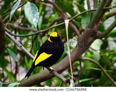 e695d404ec3 Alert Watchful Stunning Male Regent Bowerbird with Dazzling Black & Yellow  Plumage.