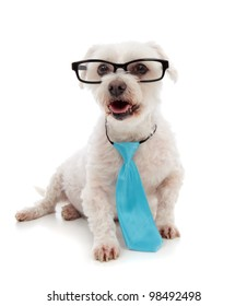 Alert white maltese terrier, looking up.  Wearing a blue tie and black rim glasses.  White background.
