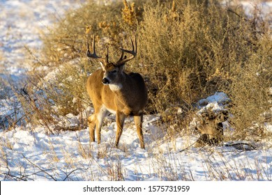 Alert whitetail buck with doe lying next to him in the snow
