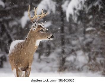 Alert, white-tailed deer buck, amongst a scenic winter landscape