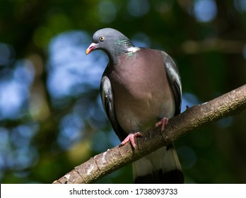 An alert Wood Pigeon keeps an eye on passers-by as it watches over its partner nearby, incubating their clutch of eggs in a flimsy stick nest