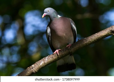 An alert Wood Pigeon keeps an eye on passers-by as it watches over it partner nearby, incubating their clutch of eggs in a flimsy stick nest