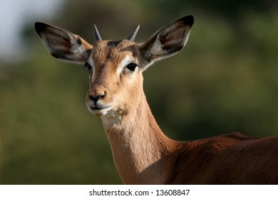 An alert young Impala antelope on the African grassland
