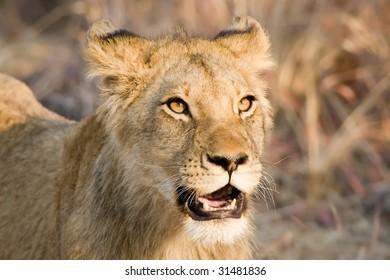 alert young lion