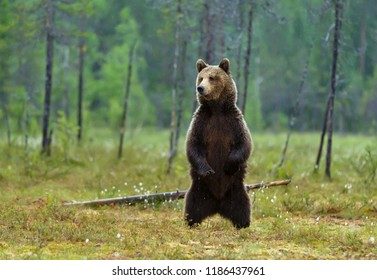 Alerted Eurasian brown bear standing on hind legs on a rainy day in swamp, Finnish forest.