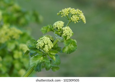 Alexanders (Smyrnium olusatrum) growing on an Isle of Wight cliff