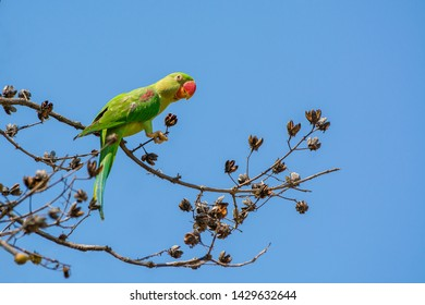 Alexandrine parakeet or Alexandrine parrot (Psittacula eupatria), beautiful green bird perching on branch with blue sky background in Thailand and clipping path.