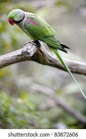 Alexandrine Parakeet (Psittacula eupatria) Perched on a tree branch at the Hong Kong Aviary