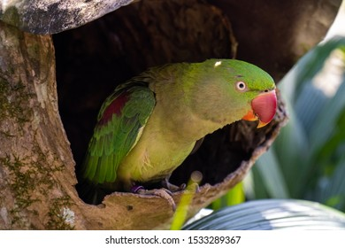 Alexandrine parakeet sits in a hole of a tree (Psittacula eupatria)