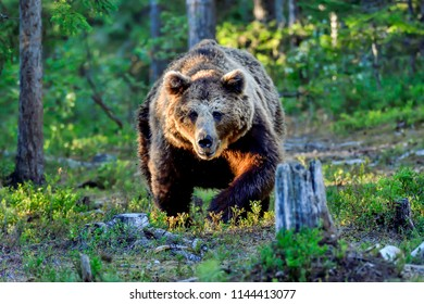 """""""Alfa"""" male brown bear shows aggression towards other male bear by attacking it."""
