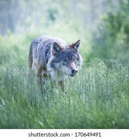 Alfa wolf male