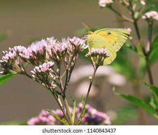 Alfalfa Butterfly on a Joe Pye Weed