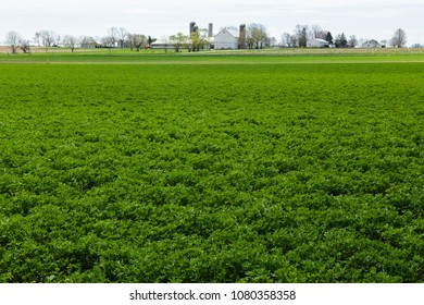 Alfalfa field in spring