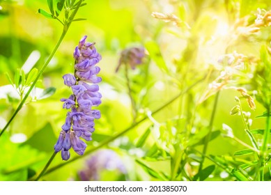 500 Alfalfa Flower Pictures Royalty Free Images Stock Photos