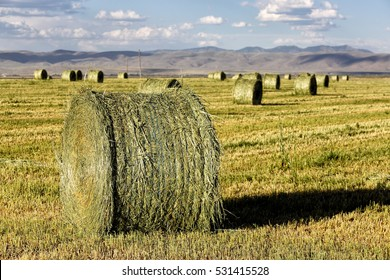 Alfalfa hay, cut and dried, and rolled into round bales in the fertile farm fields of Idaho.