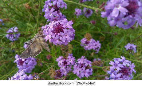 alfalfa looper (Autographa californica) on purple  vervain (Verbena) flowers in a garden in Southern California in the Spring
