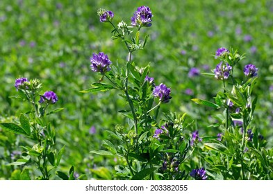 Alfalfa, Medicago sativa, also called lucerne, is a perennial flowering plant in the pea family.  It is cultivated as an important forage crop in many countries around the world.