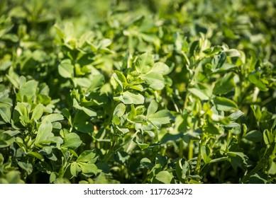 Alfalfa plant detail